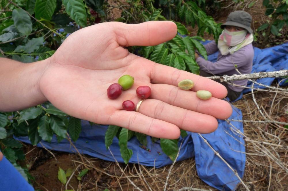 fresh coffee cherries